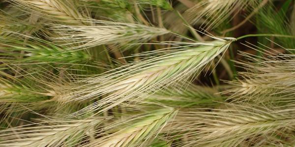 foxtail-plant-danger
