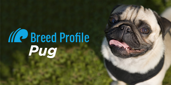 Breed Profile: Pug