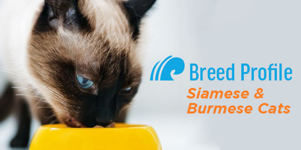 Siamese and Burmese Cats